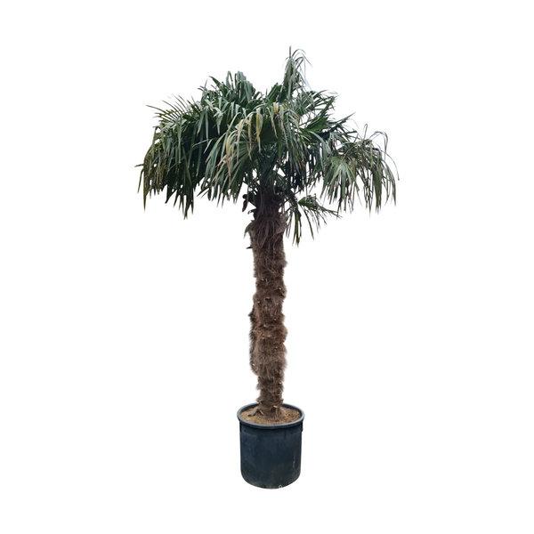 Trachycarpus fortunei (stam 220-240 cm)