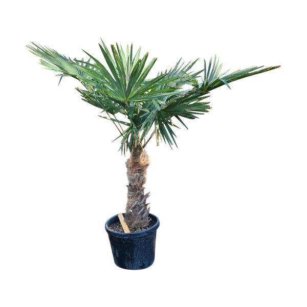 Trachycarpus fortunei (stam 50-60 cm)