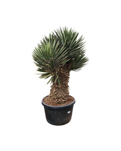 """Yucca filifera """"Multihead Monsterpiece"""" XL"""