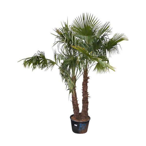"Trachycarpus fortunei ""double"" (stam 100-110 cm)"