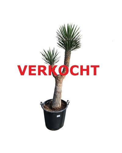 "Yucca filifera ""Multihead""  (YFM-11)"