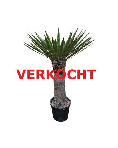 Yucca faxoniana (YFA-4)