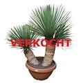"Yucca rostrata ""Multitrunc"" (YRD-1)"