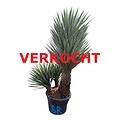 "Yucca filifera ""Multitrunc"" (YF3-2)"