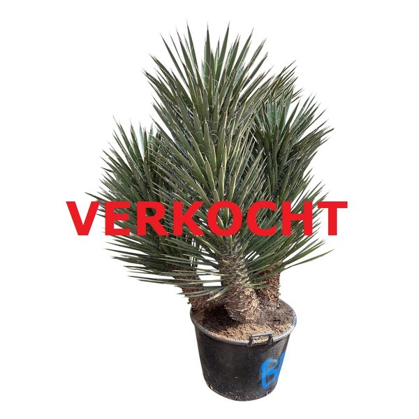 "Yucca filifera ""Multitrunc"" (YF3-1)"