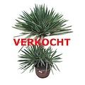 Yucca gloriosa variegata (YGV-1)