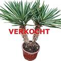 Yucca gloriosa variegata (YGV-4)