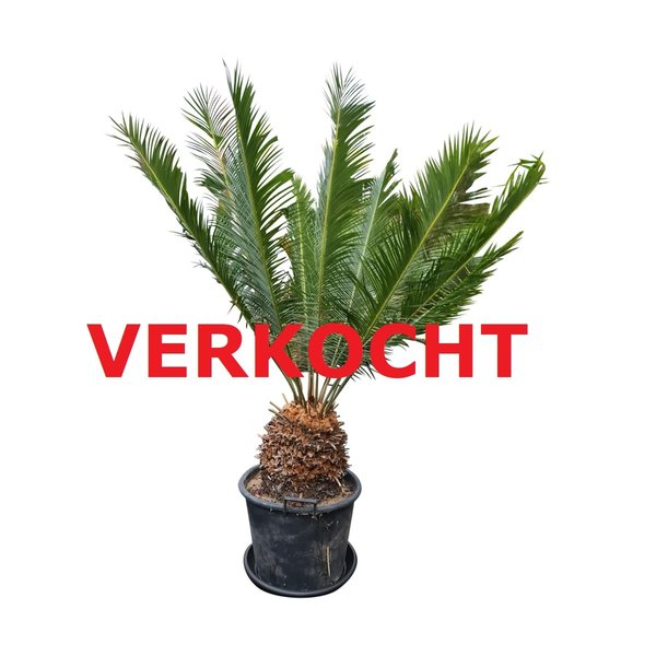 Cycas panzhihuaensis (CPA-3)