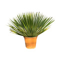 Yucca thompsoniana 35-50 cm