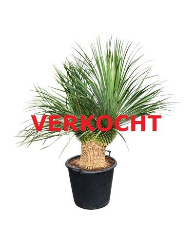 "Yucca thompsoniana ""Multihead"" (YTH-1)"