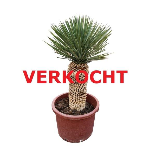 "Yucca thompsoniana ""Hybride"" (YHY-10)"
