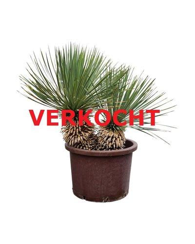 "Yucca thompsoniana ""Hybride"" (YHY-4)"