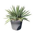 "Yucca gloriosa ""Lone star"" (pot 12 liter)"