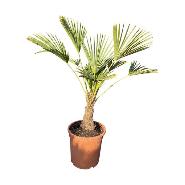Trachycarpus wagnerianus MINI
