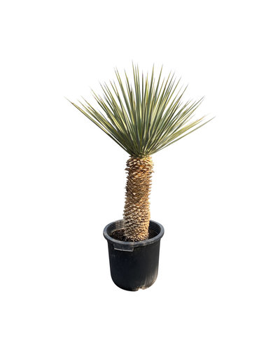 Yucca rigida 60-70 cm stamhoogte
