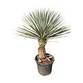 Yucca rigida 50-60 cm stamhoogte