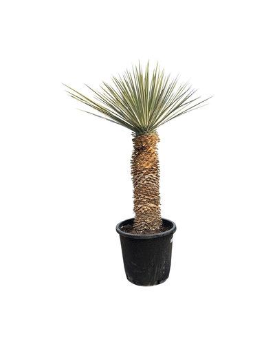Yucca rigida 70-80  cm stamhoogte