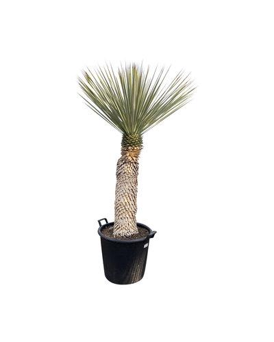 Yucca rigida 80-90  cm stamhoogte