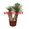 "Yucca thompsoniana ""Hybride"" (YHY-16)"