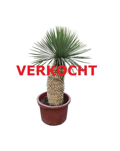 "Yucca thompsoniana ""Hybride"" (YHY-9)"