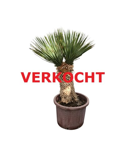 "Yucca thompsoniana ""Hybride"" (YHY-3)"
