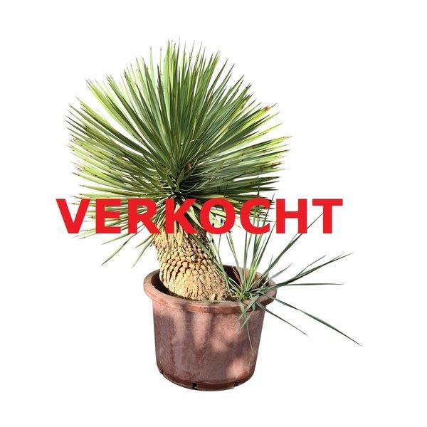 "Yucca thompsoniana ""Hybride"" (YHY-2)"