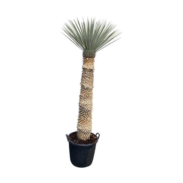 Yucca rigida 150-160 cm stamhoogte