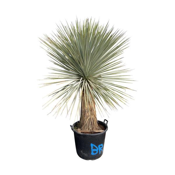 Yucca rigida untrimmed (hoogte 180 cm)