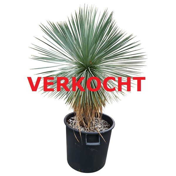 Yucca linearifolia (YLS-12)