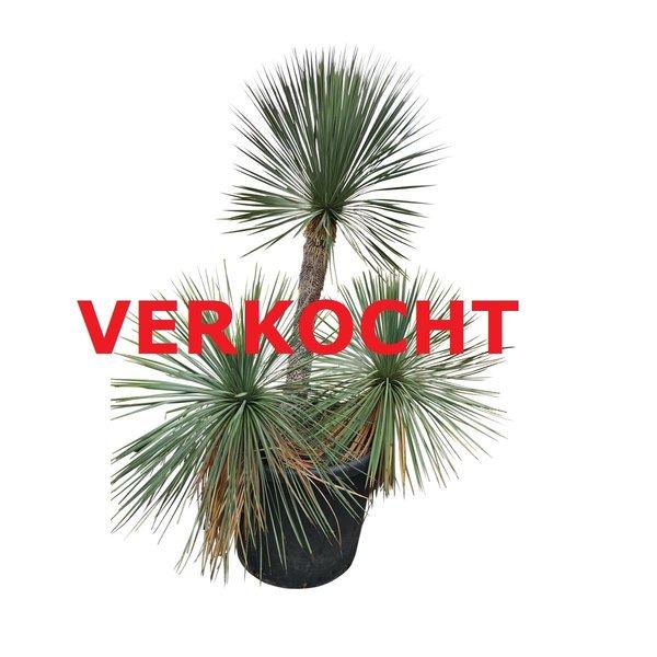 Yucca linearifolia (YLM-9)