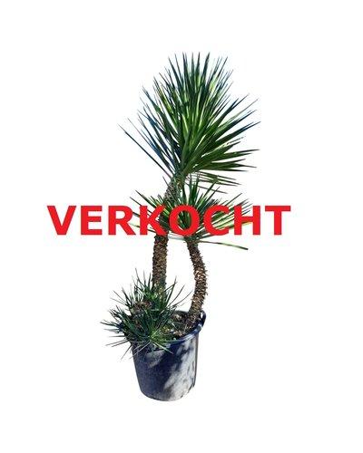 Yucca aloifolia XXL (YAL-2)