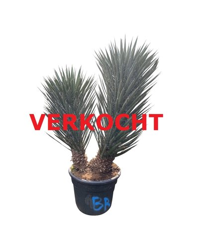 "Yucca filifera ""Multitrunc"" (YF2-3)"