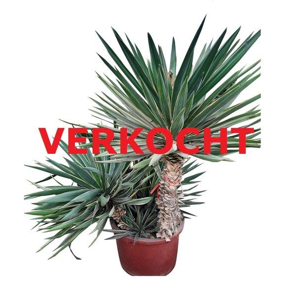 Yucca gloriosa variegata (YGV-2)