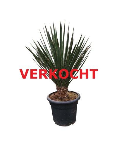 Yucca decipiens 870 cm (DEC-3)