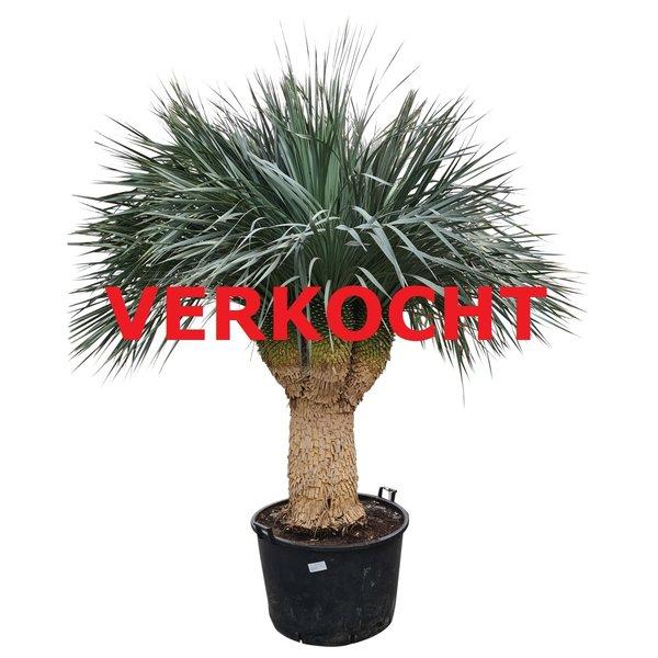 "Yucca rostrata ""Multihead"" XXL (YRS-5)"