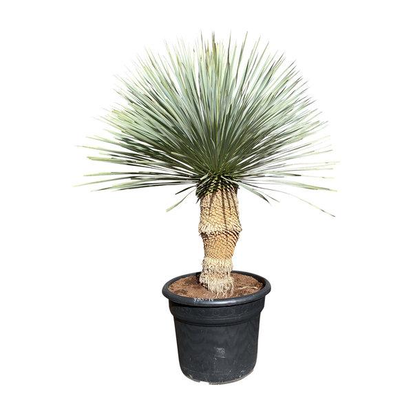 """Yucca rostrata """"Blue swan"""" (YBS-14)"""