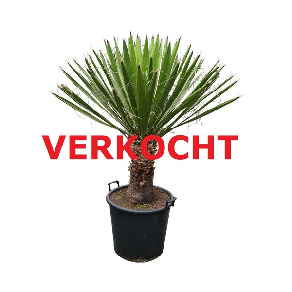 Yucca carnerosana (YCA-1)