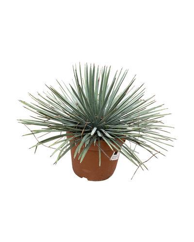Yucca whipplei (pot 20cm)