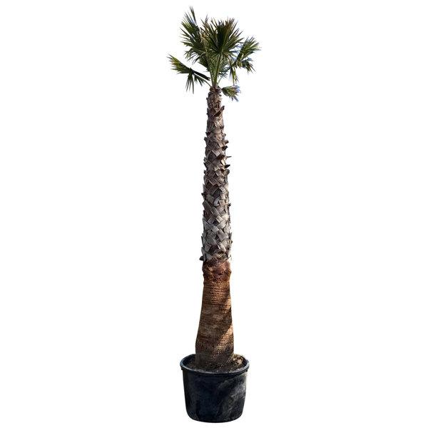 Washingtonia robusta (stam 325-350 cm)
