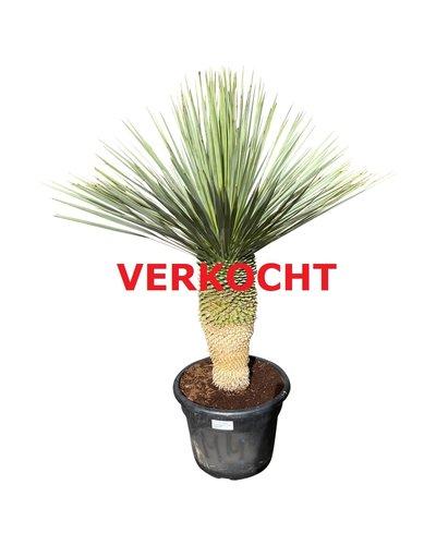 """Yucca rostrata """"Blue swan"""" (YBS-9)"""