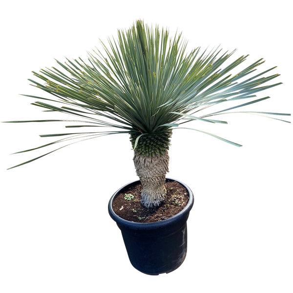"""Yucca rostrata """"Blue swan"""" (YBS-17)"""