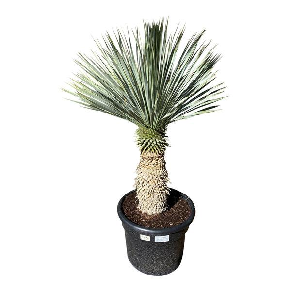 """Yucca rostrata """"Blue swan"""" (YBS-18)"""