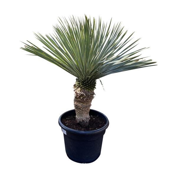 """Yucca rostrata """"Blue swan"""" (YBS-19)"""