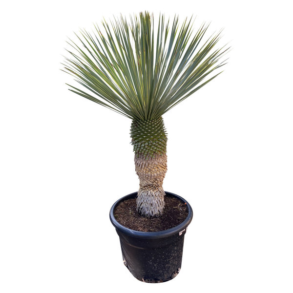 """Yucca rostrata """"Blue swan"""" (YBS-20)"""