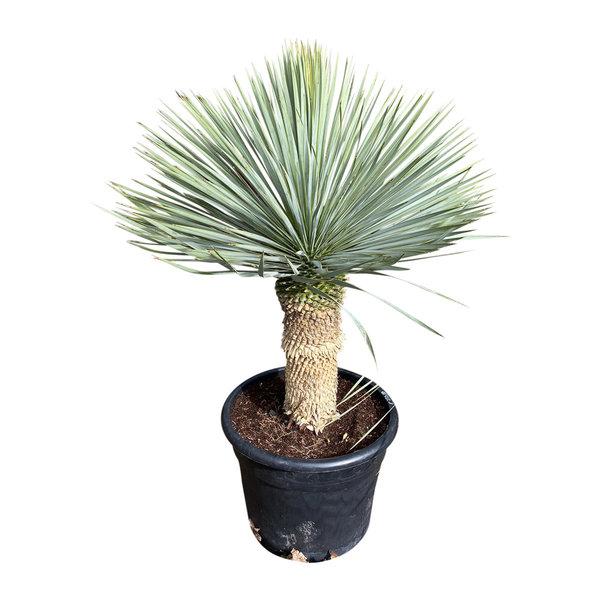 """Yucca rostrata """"Blue swan"""" (YBS-21)"""