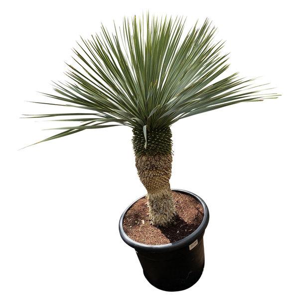 """Yucca rostrata """"Blue swan"""" (YBS-22)"""