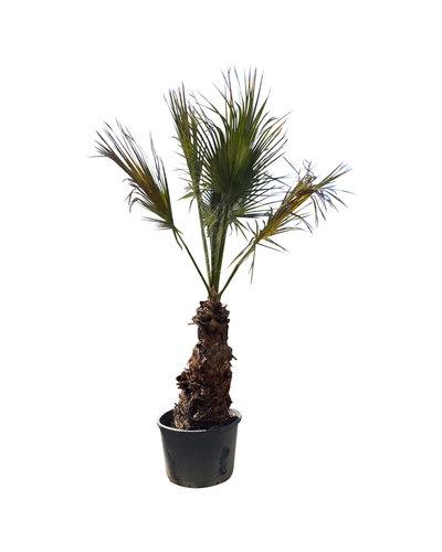 Washingtonia robusta (WHR-1, stam 125 cm)