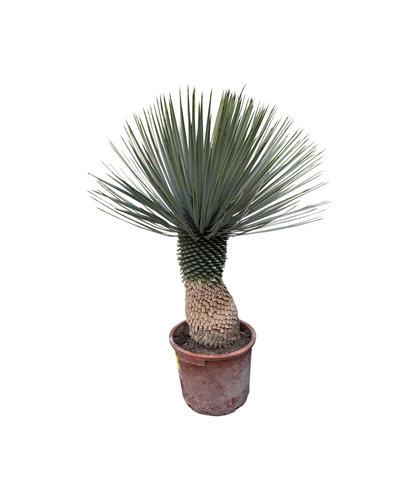 """Yucca rostrata """"Hybride"""" (YRH-1)"""