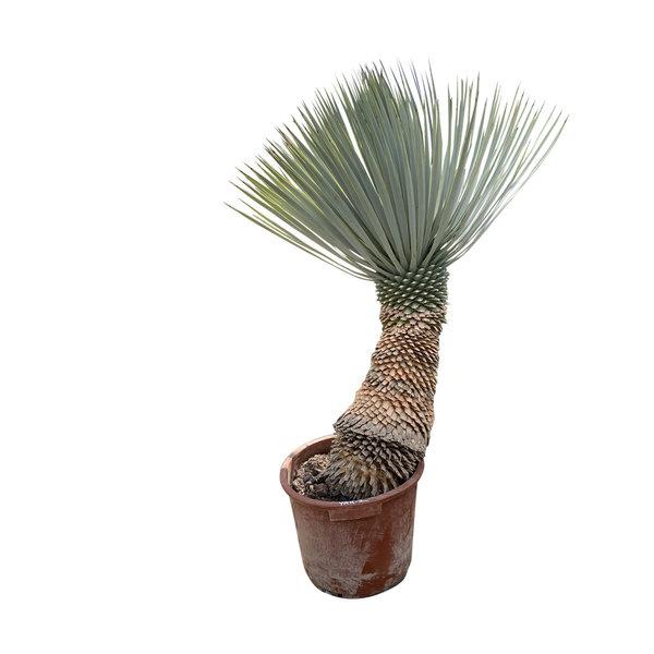 """Yucca rostrata """"Hybride"""" (YRH-2)"""