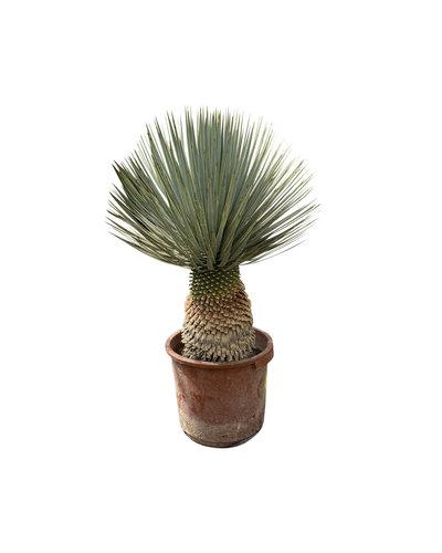 """Yucca rostrata """"Hybride"""" (YRH-3)"""